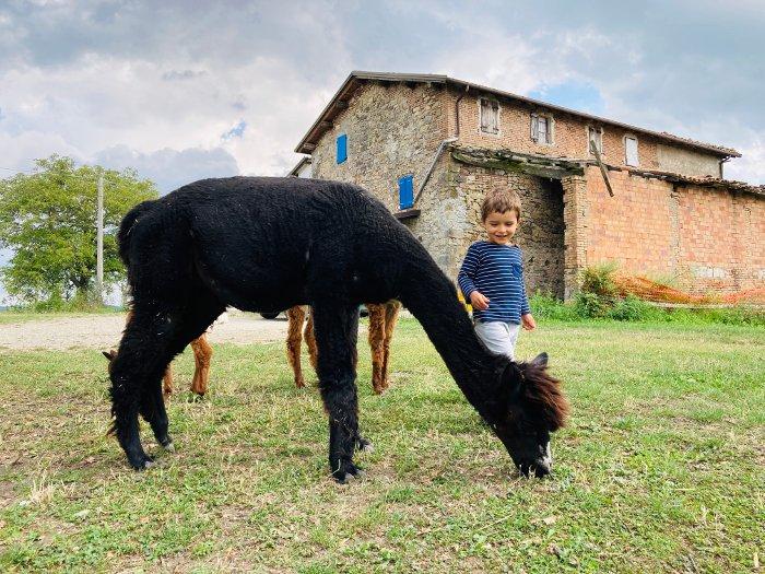 Gli alpaca dell'azienda agricola Barbona di Sotto