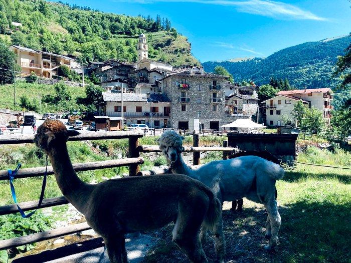 Escursioni con gli alpaca in Val Maira
